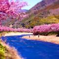 伊豆河津川沿いに左右に河津桜。。20160221