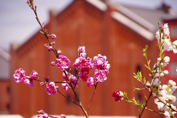 横浜赤レンガにも。。梅。。春へ。。20160327