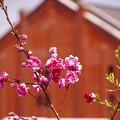 写真: 横浜赤レンガにも。。梅。。春へ。。20160327