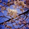 写真: みなとみらい地区に咲き始めた桜。。横浜も春へ。。20160327