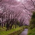 引地川を覆う桜のトンネル。。。20160402