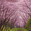 桜のトンネルを歩くふたり。。引地川 20160402