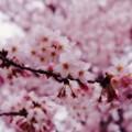 今年も綺麗に満開の引地川の桜。。。20160402