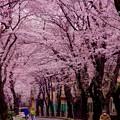 引地川の川沿いの風景・・桜満開 20160402