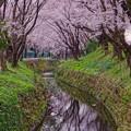 引地川のせせらぎと水面に反射して桜・・20160402