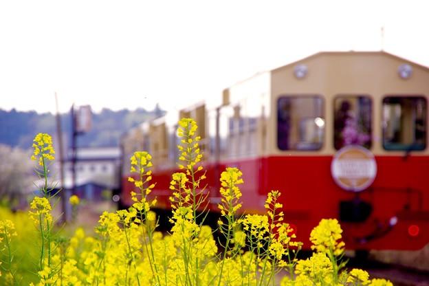 春の菜の花とトロッコ列車。。春の風景。。20160409