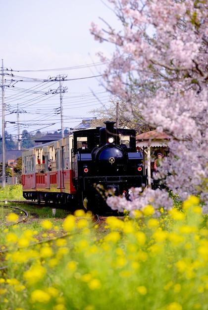 春の小湊鉄道。。トロッコ列車の旅 上総鶴舞駅 サクラ残る風景 20160409