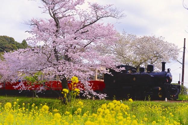 春の小湊鉄道。。トロッコ列車の旅 飯給駅 まだ散らずサクラと菜の花。。20160409