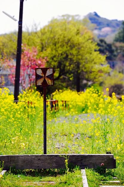 線のない向こうは。。菜の花。。小湊鉄道上総中野駅