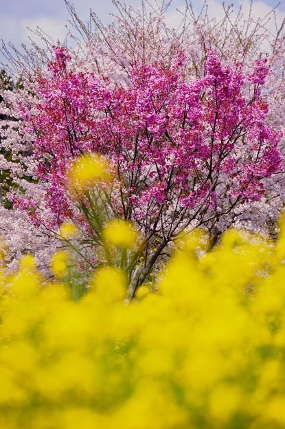 黄色い菜の花の向こうは濃いピンクのサクラ 小湊鉄道上総中野駅。。20160409