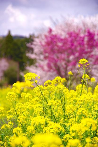 小湊鉄道上総中野駅の元気に咲く菜の花。。20160409