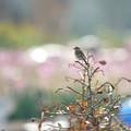 写真: ノビタキ1031 (3)