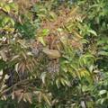 写真: オオアカハラ0117 (1)