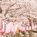 写真: 玉川の桜・1