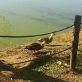 ひなたぼっこ鴨