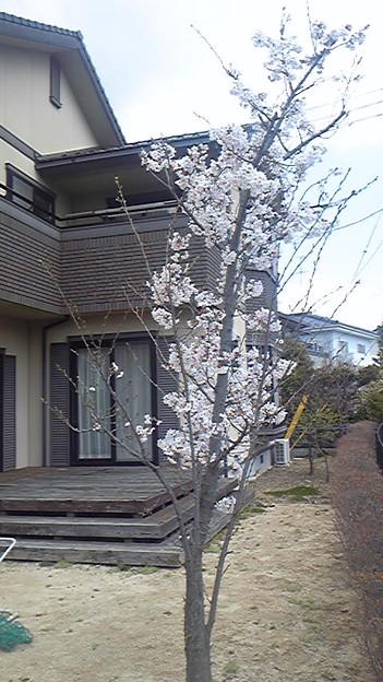 ついでに我が家の桜。