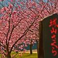 ジョー山下の桜