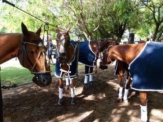 試合前の馬たち