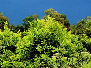 マテ茶の葉