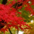 Photos: 永観堂 真っ赤な紅葉