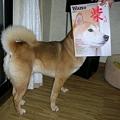 写真: ニセ 柴 犬一で~す