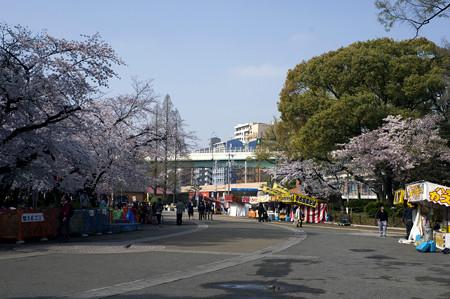 鶴舞公園 さくら