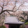 写真: 鎌倉の桜 二眼編 01