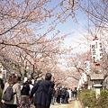 写真: 鎌倉の桜 二眼編 02