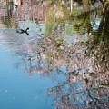 Photos: [26]「水面に映る桜と鴨」