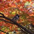 Photos: 紅葉と野鳥さん(4)