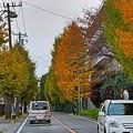 Photos: イチョウ並木道