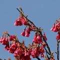 台湾寒緋桜