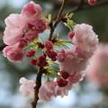 八重の桜・普賢象