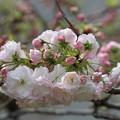 八重桜・松月