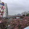 東京流通センター 桜並木(1)