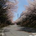 ソメイヨシノが満開の桜並木(長野)