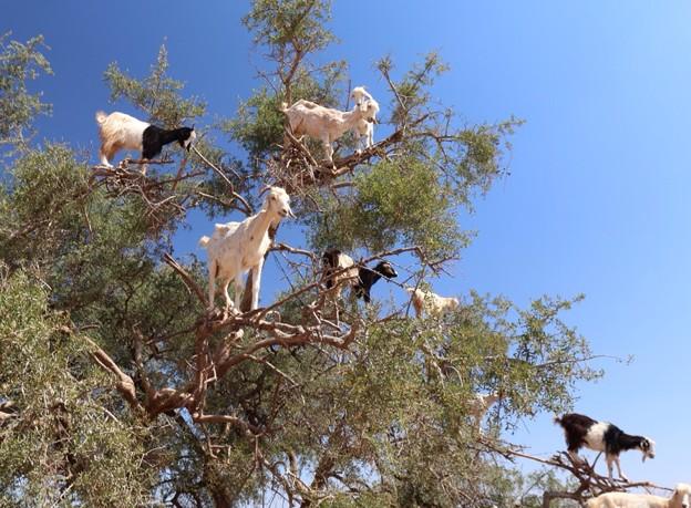 山羊も木に登る ~Argan tree~