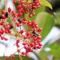 27.10.6鹽竈神社の珊瑚樹