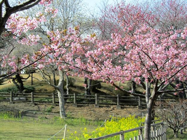 28.3.28鹽竈神社の河津桜