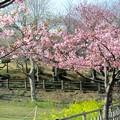 Photos: 28.3.28鹽竈神社の河津桜