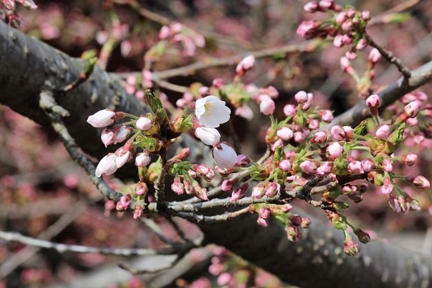 28.4.5鹽竈神社の染井吉野開花
