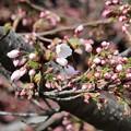Photos: 28.4.5鹽竈神社の染井吉野開花