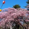 Photos: 28.4.5榴岡公園の桜