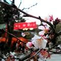 写真: 目黒不動尊の桜