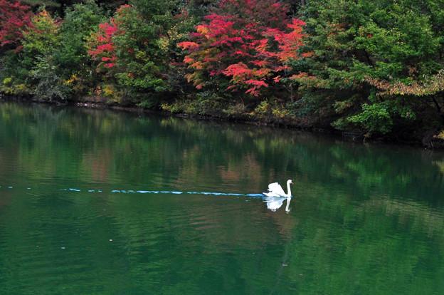 写真: 一羽の白鳥