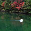 Photos: 一羽の白鳥