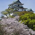 桜と和歌山城