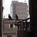 Photos: うちの鳩