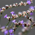 Photos: 紫の小さな花