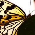 Photos: 白と黒の蝶